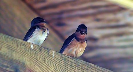 Barn swallow laughing