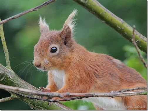red-squirrel-injured tail 5