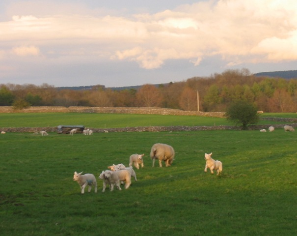 cropped lambs