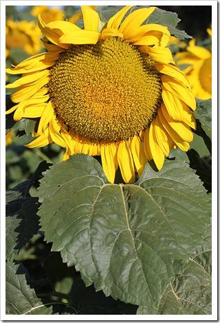 110707_sunflowers_davis_11