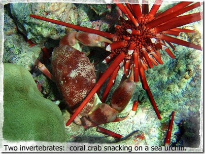 coralcrabmod