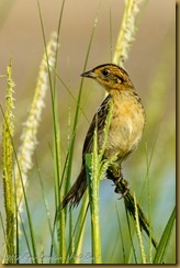 Saltmarsh Sparrow - Ammodramus caudacutu