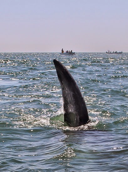 Grey Whale Fluke Baja