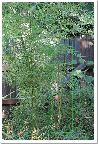110921_Phyllostachys-viridis_01