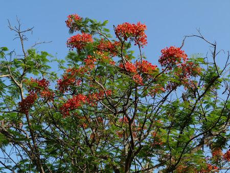 Flora Sri Lanka: flori tropicale