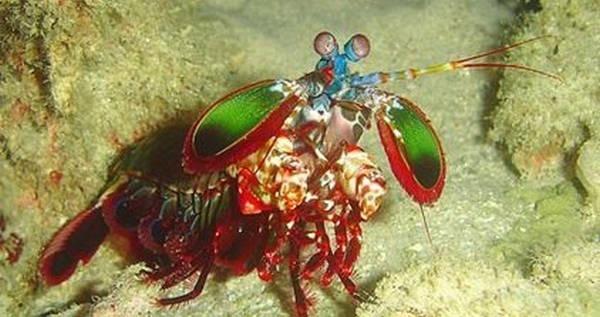 5- O camarão mantis
