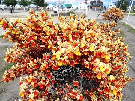 Ushuaia, Tara de Foc: Flori din Tara de Foc