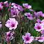 Spring Blooms - Akaroa, New Zealand