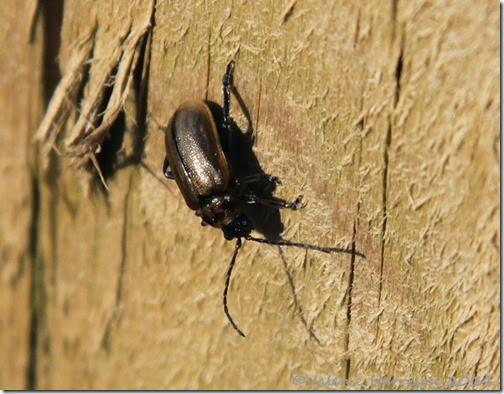 8-beetle