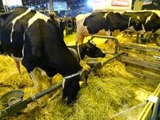2015.02.26-067 vache Prim'Holstein