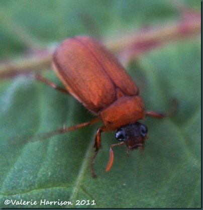 brown-chafer