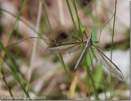 15-Cranefly