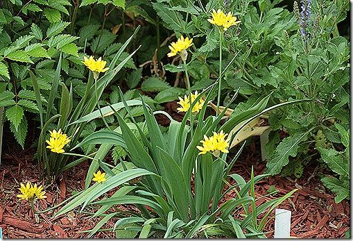 Allium_Moly_May22
