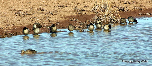 Green Wing teals taking a nap