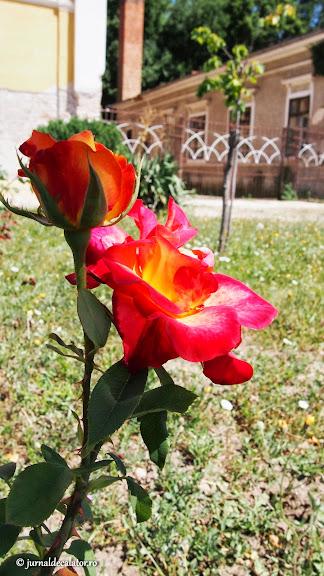 Trandafir de Lovrin