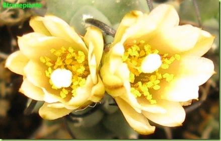 Turbinicarpus schmiedickeanus ssp. klinkerianus in fiore a gennaio semina