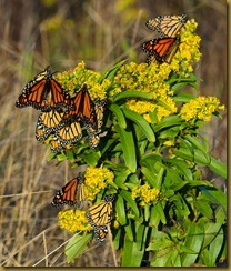 untitled Monarchs on Goldenrod -D7K_4904 October 07, 2011 NIKON D7000