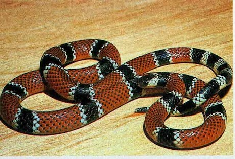 Cobra-Coral-Verdadeira.jpg