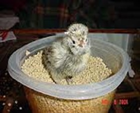 Amazing Pictures of Animals, photo, Nature, exotic, funny, incredibel, Zoo, Polish chicken, bird, Alex (35)