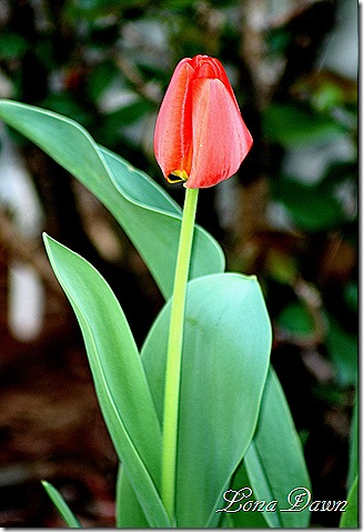 Tulip_Apeldoorn