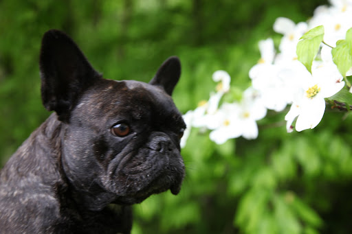 Sigh... I would just love if some dashing Frenchie would court me with dogwood blooms!