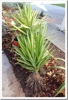 111203_yucca_gloriosa_removed