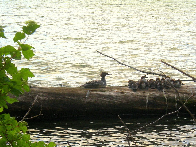 Merganser Family on Suttle Lake