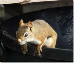 Red Squirrel in a trash can
