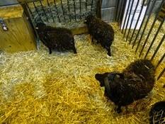 2015.02.26-019 mouton d'Ouessant