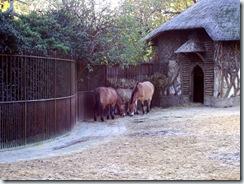 2011.11.14-028 chevaux de Przewalski