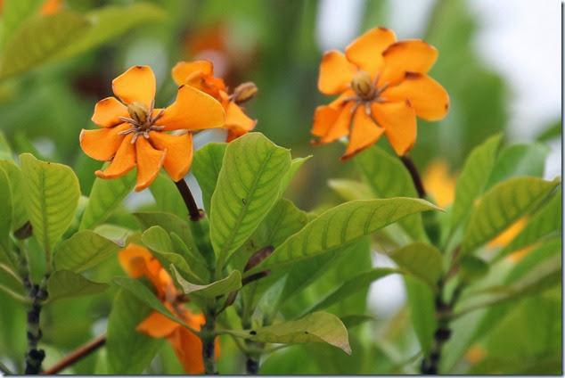 gardenia tubifera