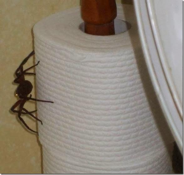 australia-scary-spiders-006