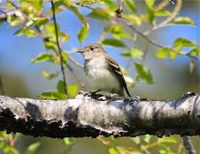 Awesomely cooperative Alder Flycatcher