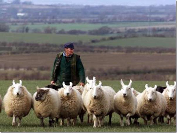 Ovelhas Pastando (14)