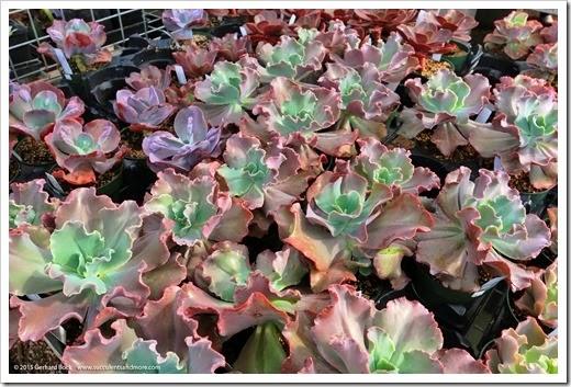 150411_RBG_SpringSale_018_Echeveria-Coral-Glow