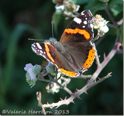 3-red-admiral