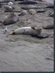 Elephant Seals 2012 009