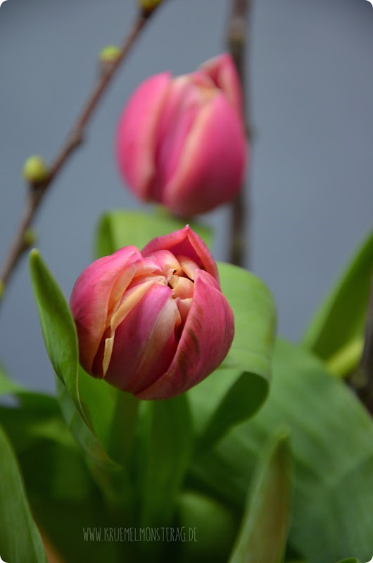 gefüllte Tulpen (04) mit Kirschblütenzweig und Peter Rabbit