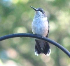 2011 hummingbird morning after Hurricane Irene2