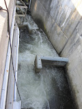 The fish ladder at Ballard Locks