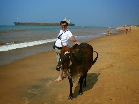32. O vaca pe plaja.JPG