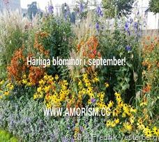 bm-image-791193 Härliga blommor i september. Med amorism