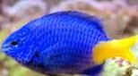 Polynésie demoiselle bleue à queue jaune