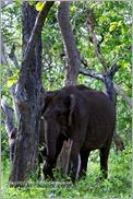 _P6A1701_wild_elephants_mudumalai_bandipur_sanctuary