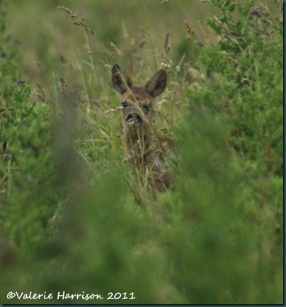 47-roe-deer-fawn