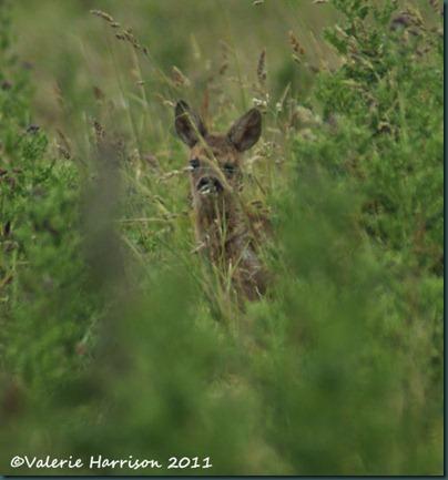 47-roe-deer-fawn