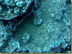 Brain Coral 2