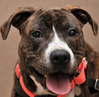 Sam is from the San Diego Humane Society. To learn more about Sam, click on the link to the shelter below.