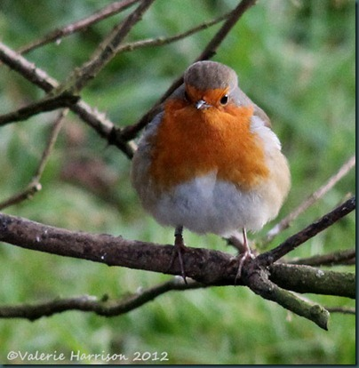 1-Robin