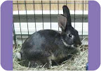 These guys really need homes!  Bunnies do best in bonded pairs- Jenny (above) and Johanna (next) already know each other well. But they can also be adopted separately. Perhaps you have a home for them?